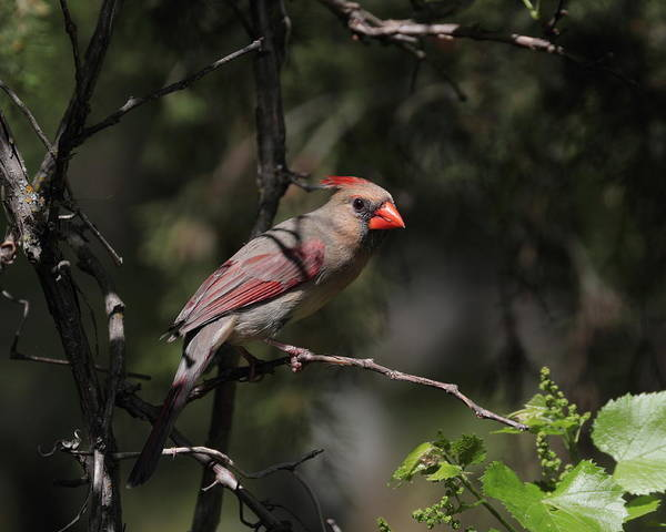 Photograph - Cardinal 7267 by John Moyer