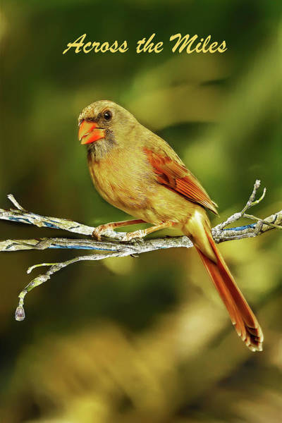 Photograph - Cardinal Across The Miles Greeting Card by Kay Brewer
