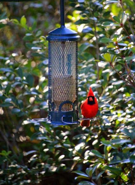 Photograph - Cardinal At Bird Feeder  by Cynthia Guinn