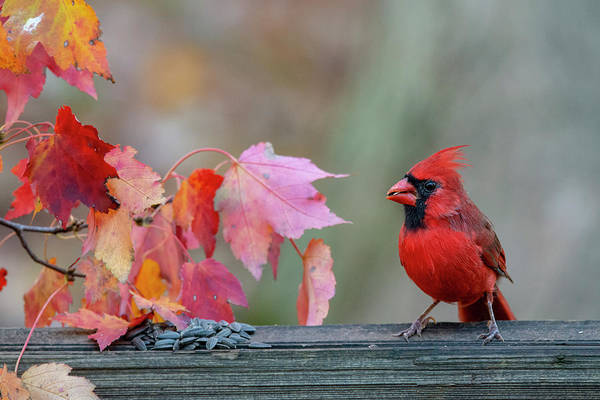 Photograph - Cardinal Feeding On Fence Post by Dan Friend