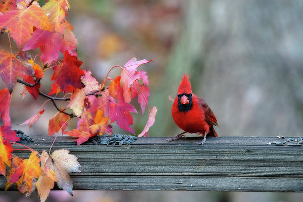 Photograph - Cardinal In Fall On Fence Post by Dan Friend