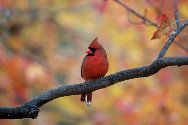 Photograph - Cardinal In Front Of Yellow And Red Leaves by Dan Friend