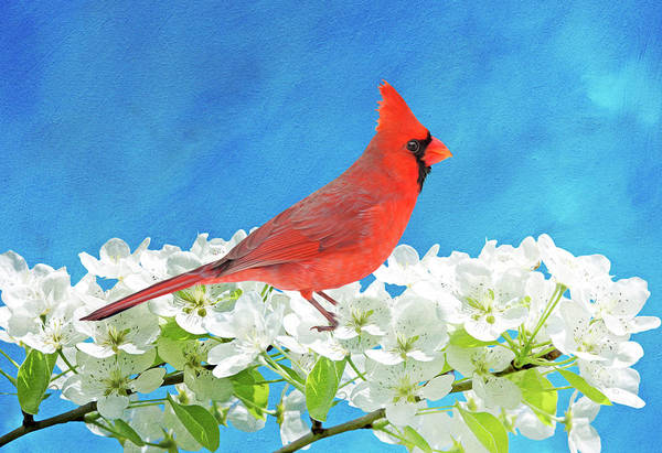 Wall Art - Photograph - Cardinal In The Blooming Tree by Laura D Young