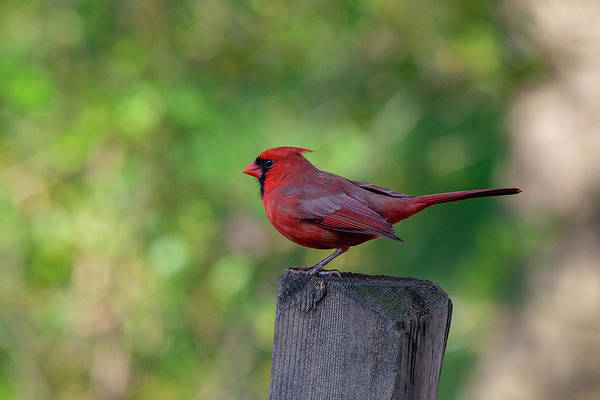 Photograph - Cardinal On Fence Post by Dan Friend