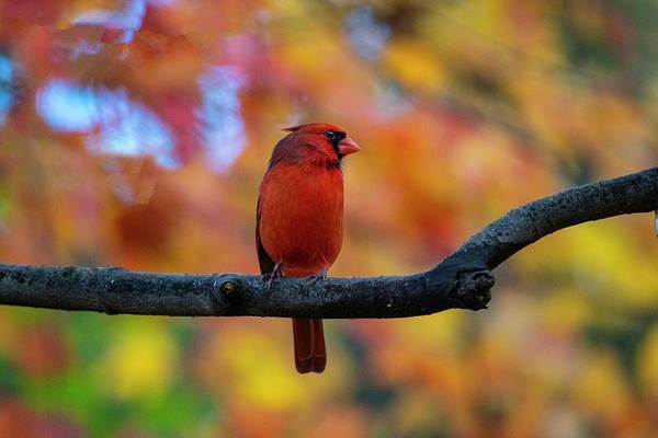 Photograph - Cardinal On Limb In Fall by Dan Friend