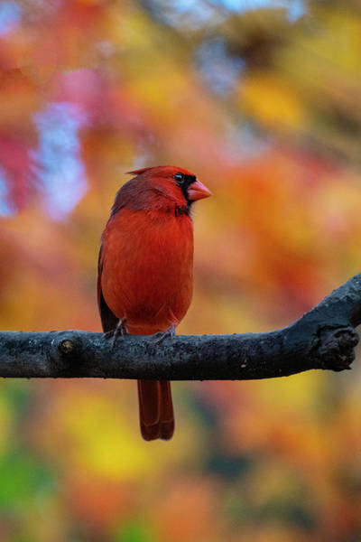 Photograph - Cardinal On Limb In Fall In Front Of Fall Foliage by Dan Friend