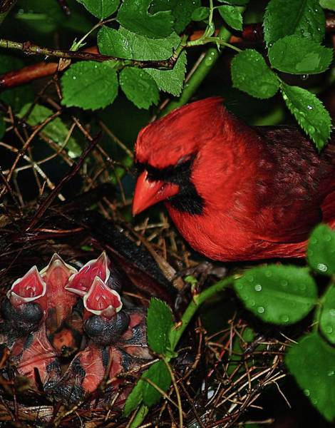 Wall Art - Photograph - Cardinal Papa And His Children by Frozen in Time Fine Art Photography
