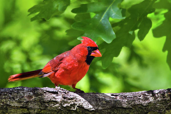 Photograph - Cardinal Red by Christina Rollo