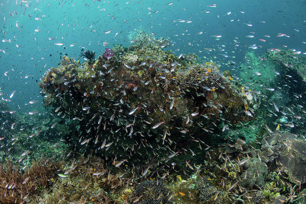 Wall Art - Photograph - Cardinalfish Swarm Over A Coral Reef by Ethan Daniels
