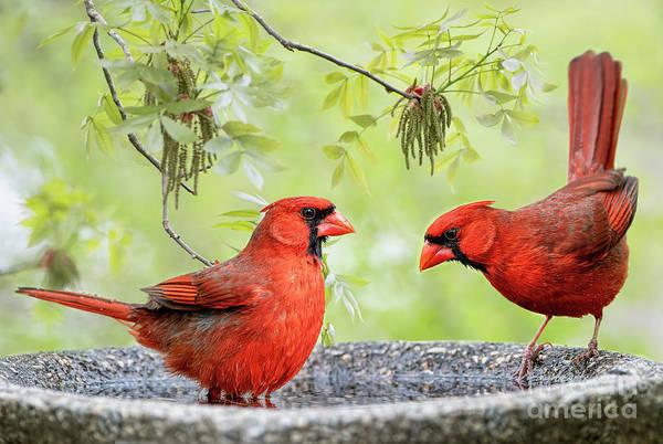 Wall Art - Photograph - Cardinals In Bird Bath by Bonnie Barry