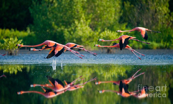 Wall Art - Photograph - Caribbean Flamingos Flying Over Water by Gudkov Andrey