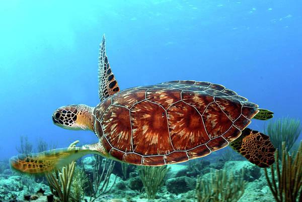 British Virgin Islands Photograph - Caribbean Green Turtle by Armando F. Jenik