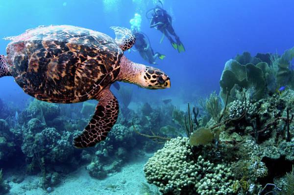 Scuba Diving Photograph - Caribbean Hawksbill Turtle by Armando F. Jenik