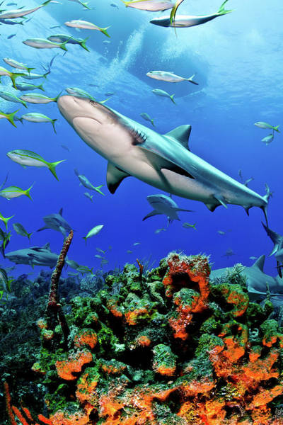 Reef Photograph - Caribbean Reef Shark And Reef by Todd Bretl Photography