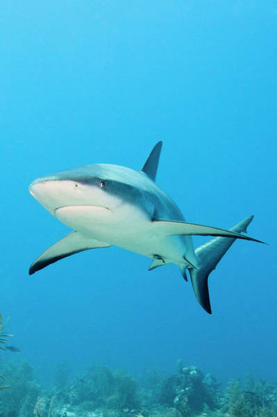 Caribbean Photograph - Caribbean Reef Shark by Michele Westmorland