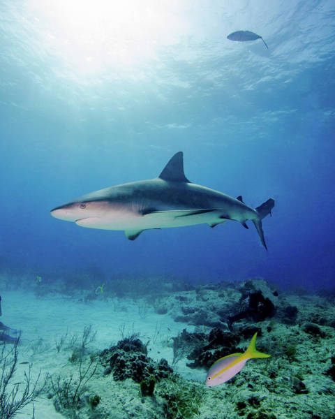 Wall Art - Photograph - Caribbean Reef Shark Under Sunrays by Brent Barnes