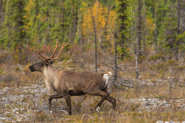Photograph - Caribou by Brenda Jacobs