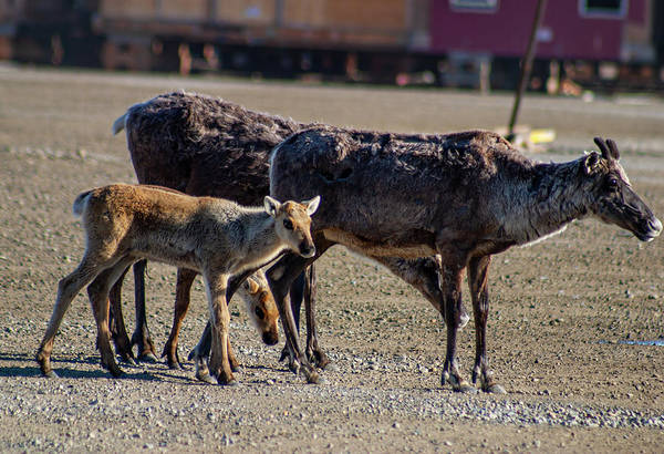 Photograph - Caribou Fawns With Their Mothers by Anthony Jones
