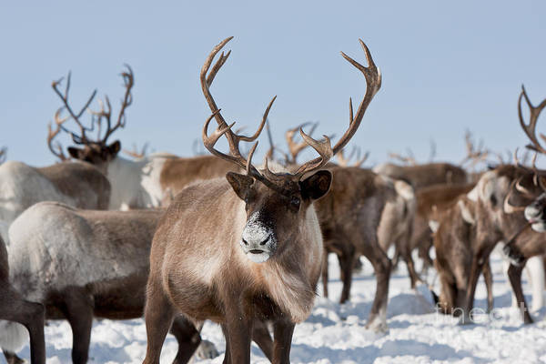 Reindeer Wall Art - Photograph - Caribou Group On Pastures In The by Sergey Krasnoshchokov