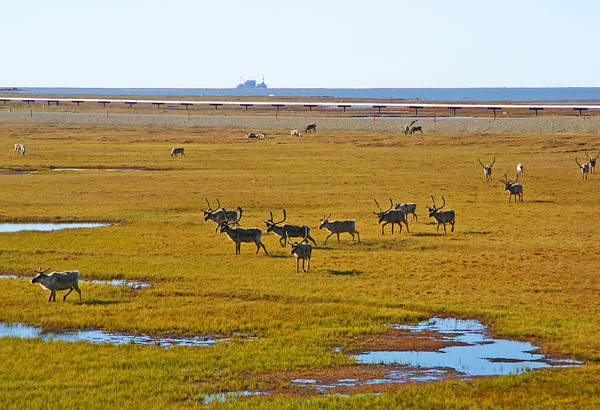 Photograph - Caribou Herd On The Tundra by Anthony Jones