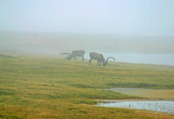 Photograph - Caribou In The Fog by Anthony Jones