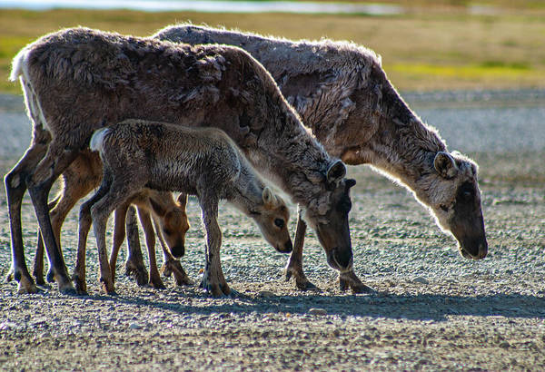 Photograph - Caribou Moms And Fawns by Anthony Jones