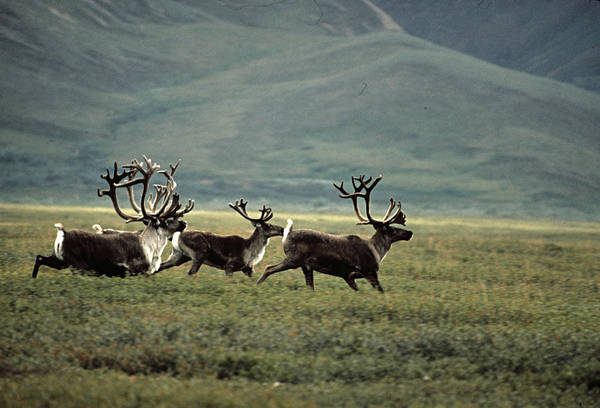 Vertebrate Photograph - Caribou Running. Arctic National by S.j. Krasemann