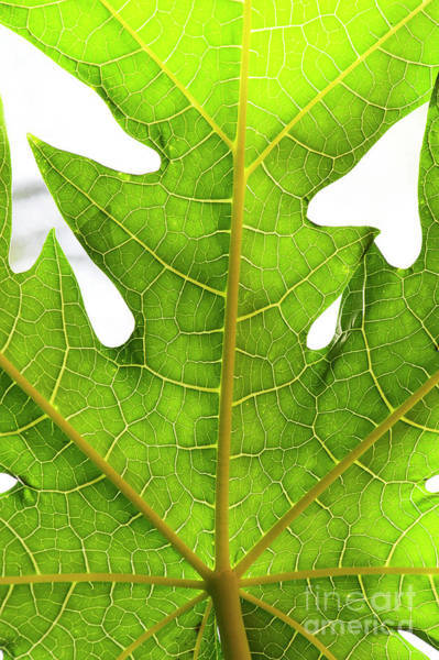 Wall Art - Photograph - Carica Papaya Tree Leaf Abstract by Tim Gainey