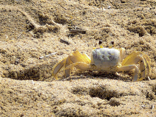 Wall Art - Photograph - Carl The Crab by Lora J Wilson