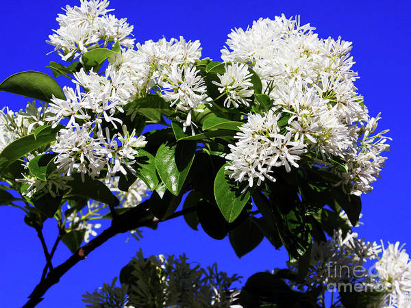 Photograph - Carly's Tree Abloom by Rick Locke
