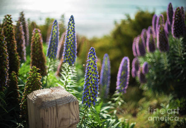 Wall Art - Photograph - Carmel By The Sea Echium Flowers Beach by Mike Reid
