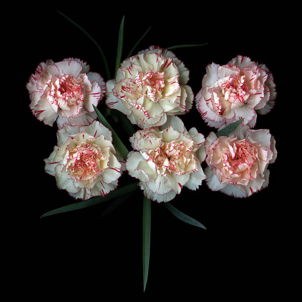 Fragility Photograph - Carnations by Photograph By Magda Indigo