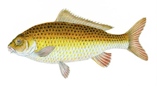 Drawing - Carp  by David Letts