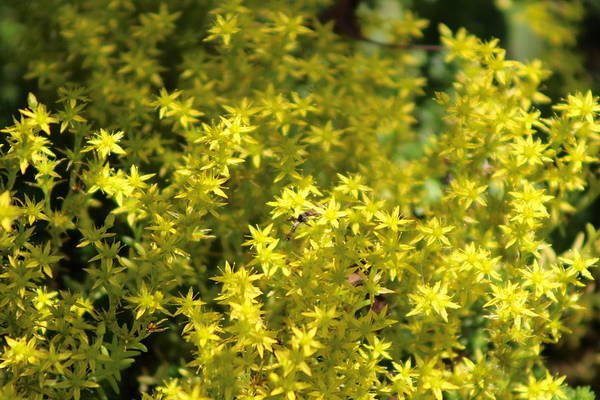 Photograph - Carpet Of Golden Yellow Creeping Sedum by Colleen Cornelius