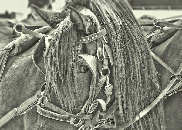 Photograph - Carriage Horse Beauty by JAMART Photography
