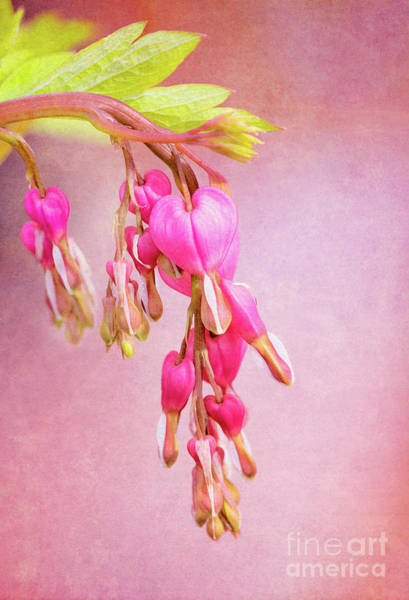 Photograph - Cascading Bleeding Hearts by Anita Pollak