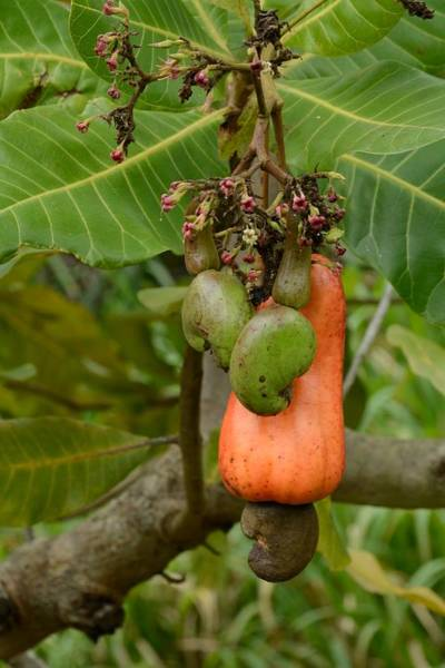 Photograph - Cashew Apple And Nuts by Bradford Martin