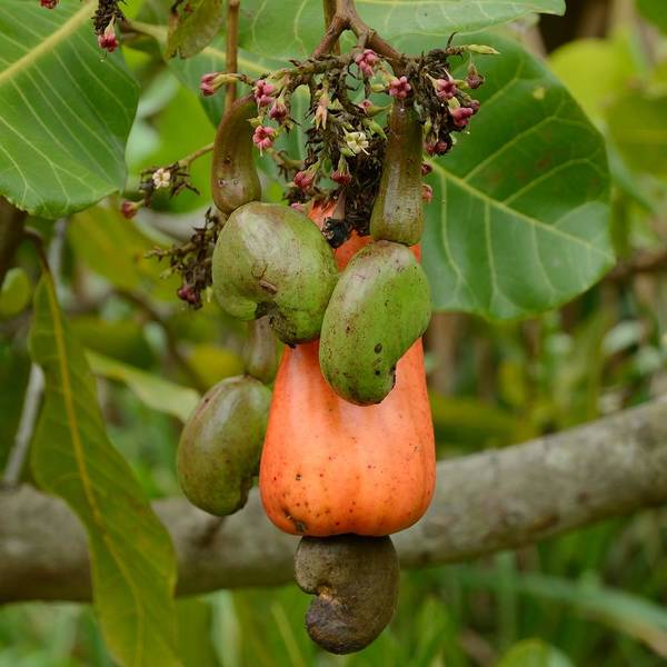 Photograph - Cashew Apple And Nuts - Square by Bradford Martin