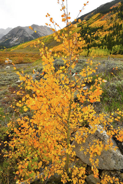 Photograph - Castle Creek Aspen Sapling by Ray Mathis