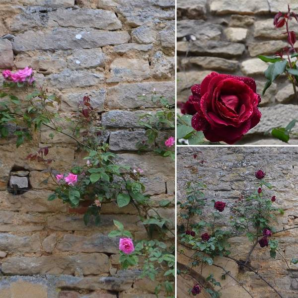 Chateauneuf Photograph - Castle Roses by Cheryl Miller