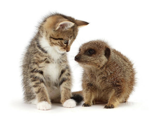 Photograph - Cat And Meerkat by Warren Photographic