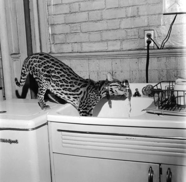 Faucet Photograph - Cat At The Tap by Sherman