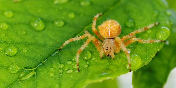 Photograph - Cat-faced Spider by KJ Swan