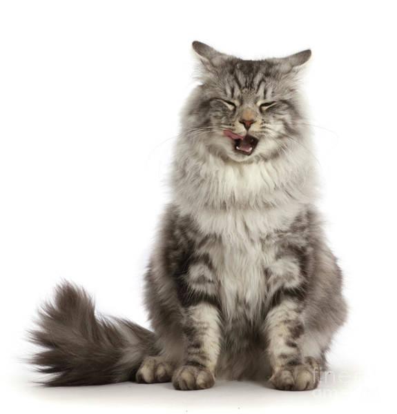 Photograph - Cat Got Your Tongue by Warren Photographic
