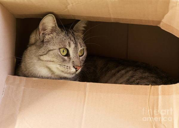 Hiding Photograph - Cat Hiding In Paper Box, Curious Kitten by Renata Apanaviciene