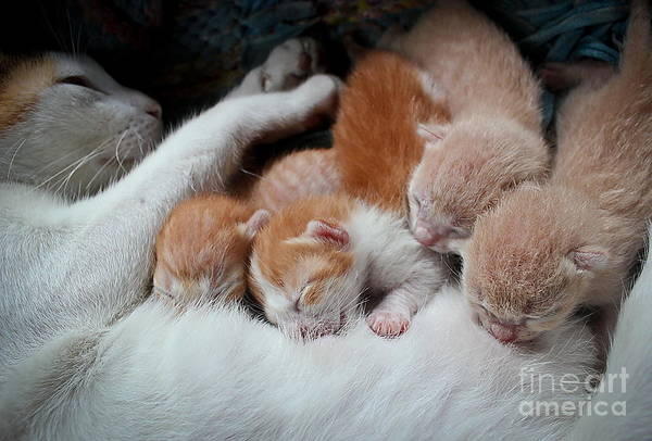 Wall Art - Photograph - Cat Nursing Her Kittens by Grey Carnation