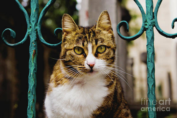 Photograph - Cat On A Fence by Joaquin Corbalan