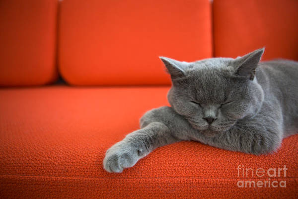 Britain Photograph - Cat Relaxing On The Couch by Ac Manley