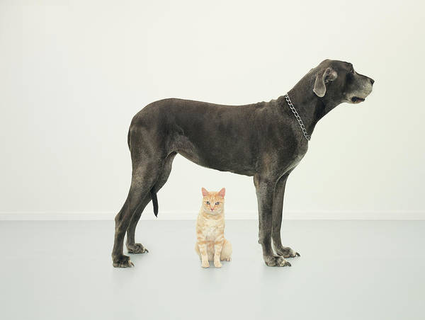 Great Dane Photograph - Cat Sitting Beneath Great Dane by Oppenheim Bernhard