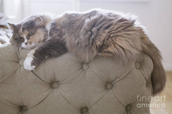 Fluffy Wall Art - Photograph - Cat Sleeping On The Couch by Gipsy
